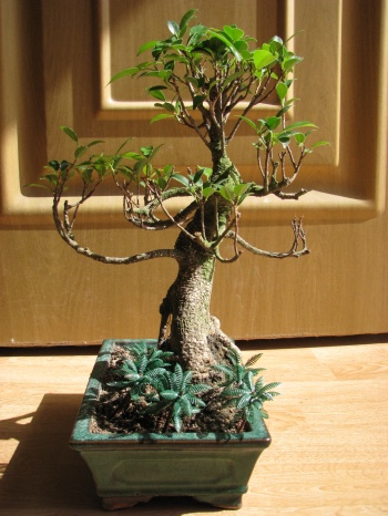 Bonsai Ficus Retusa - miguelangel