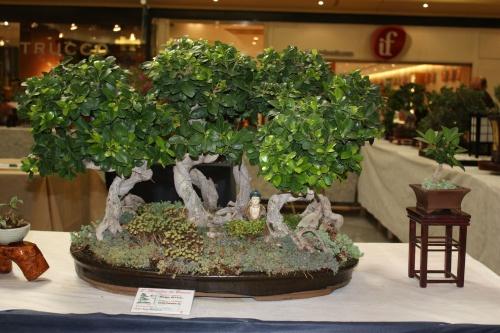 Bonsai Bosque de Ficus Compacta - ilicitano
