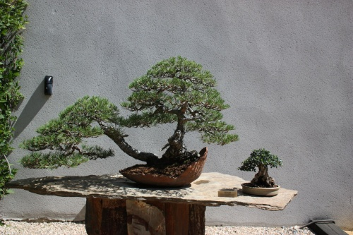 Bonsai Pino Albar - Fran Rives