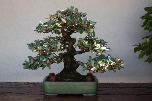 Bonsai 1173 - Fran Rives