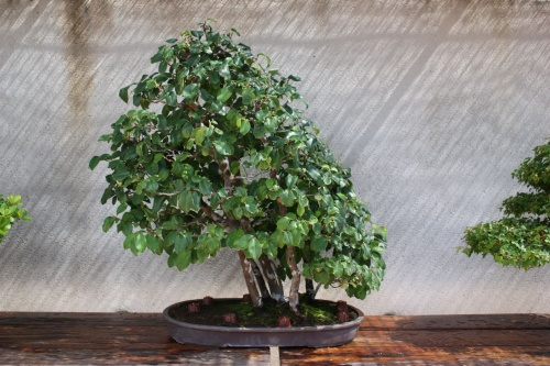 Bonsai 1177 - Fran Rives