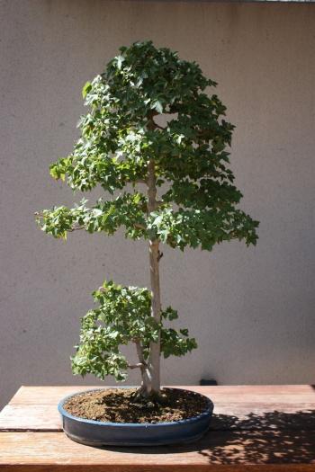 Bonsai 1185 - Fran Rives