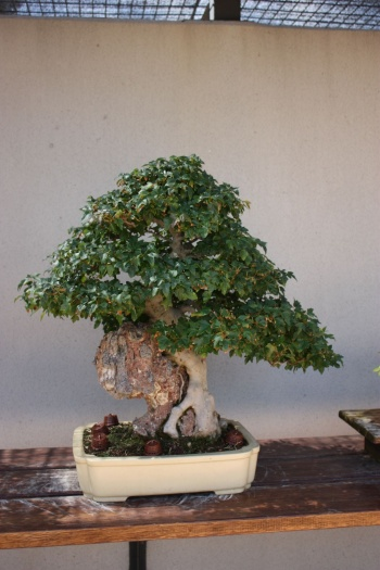 Bonsai 1189 - Fran Rives