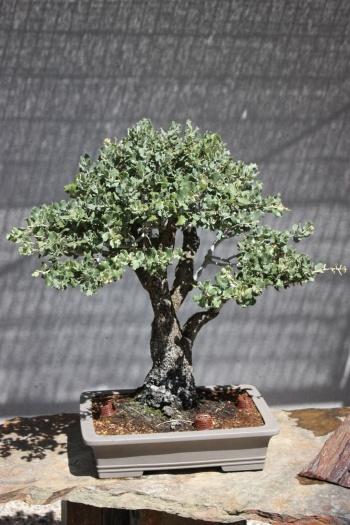 Bonsai 1201 - Fran Rives