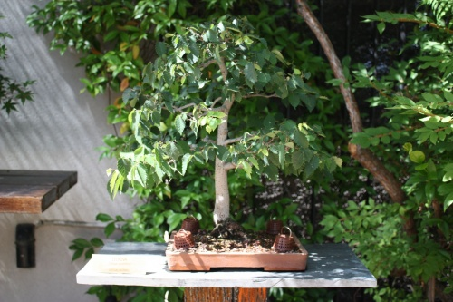 Bonsai Zelkova - Fran Rives