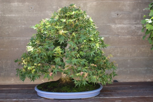 Bonsai 1229 - Fran Rives