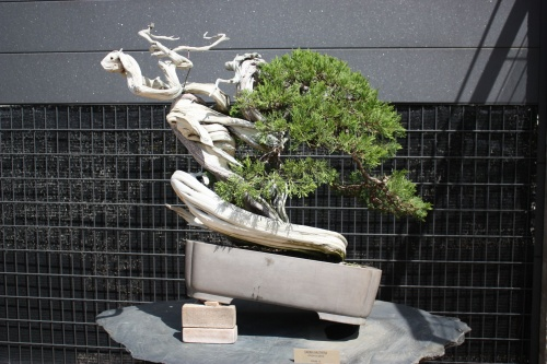 Bonsai Sabina Rastrera - Juniperus Sabina - Fran Rives