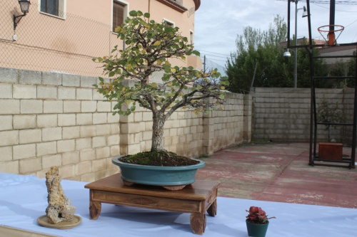 Bonsai Olmo - Ulmus Campestris - Assoc. Bonsai Cocentaina