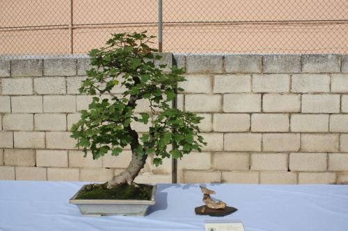 Bonsai Arce - Acer Opalus Granatense - Assoc. Bonsai Cocentaina