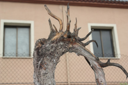 Bonsai Sabina - Juniperus Phoenicea - Assoc. Bonsai Cocentaina