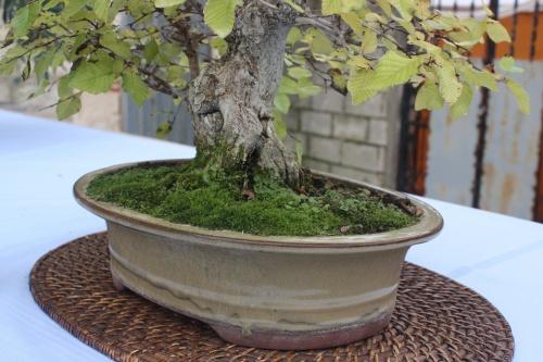 Bonsai Carpinus - Carpe Turkzaninowii - Assoc. Bonsai Cocentaina