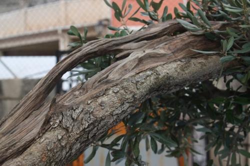 Bonsai Olea Europaea - Olivo - Olivera - Assoc. Bonsai Cocentaina