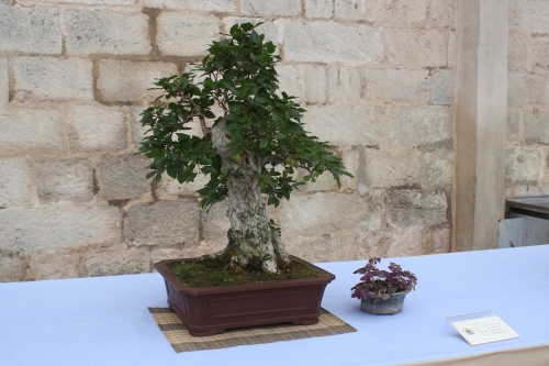 Bonsai Carpe - Carpinus Turkzaninowii - Assoc. Bonsai Cocentaina