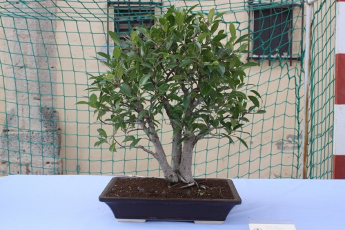 Bonsai Ficus Retusa - Assoc. Bonsai Cocentaina