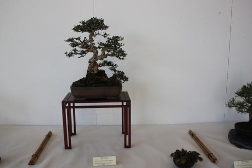 Bonsai Olea Europaea - Bernardo Gonzalez - Murciano
