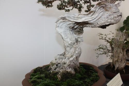 Bonsai Detalle del tronco - Acebuche - Murciano