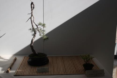 Bonsai Pinus Sylvestris - Pino Albar - Alhama Murcia - Murciano