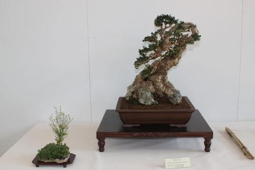 Bonsai Olea Europaea Sylvestris - Murciano