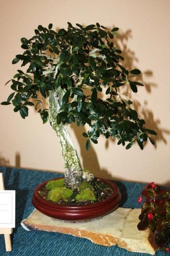 Bonsai Ernesto Pascual - Olea Europaea - Assoc. Bonsai Muro