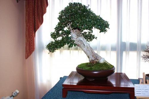 Bonsai Olea Europaea Silvestris - Assoc. Bonsai Muro
