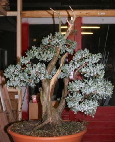 Bonsai juniperus glaua - machiel van den broek