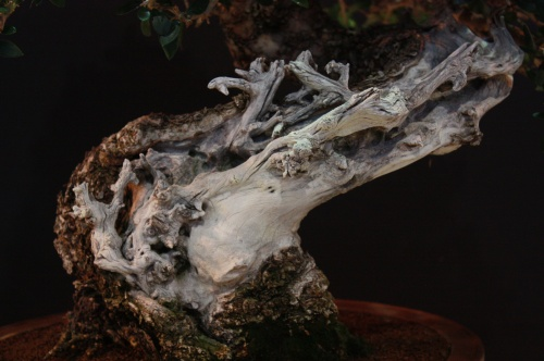 Bonsai Detalles tronco Acebuche de Juan Ortega - EBA en Lorca - EBA Lorca