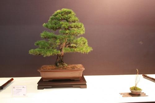 Bonsai Pinus Sylvestris - Pavel Slovak - EBA Lorca