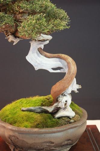 Bonsai Sabina o Juniperus Phoenicea - EBA Lorca