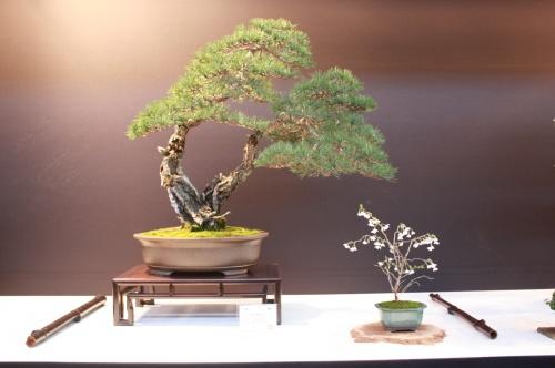 Bonsai Pinus Sylvestris - Pino Silvestre - Manuel Lorenzo - EBA Lorca