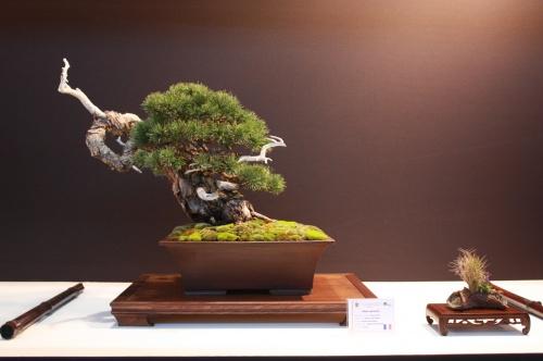 Bonsai Pinus Sylvestris - Becker Jean - EBA Lorca