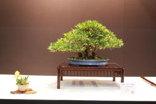 Bonsai Ficus Retusa Brevifolia - Jaume Canals - EBA Lorca