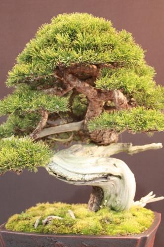 Bonsai Pinus Mugo - Salvatore Liporace - EBA Lorca