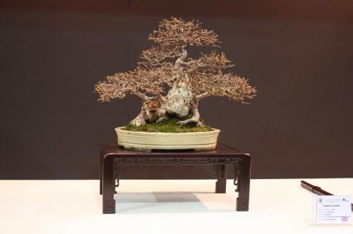 Bonsai Carpinus Laxifolia - Reg Bolton - EBA Lorca