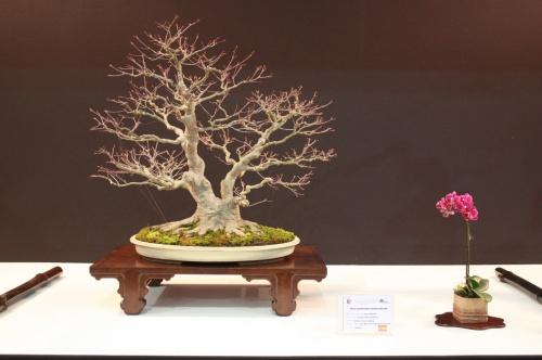 Bonsai Acer Plamatum - Andres Alvarez - EBA Lorca