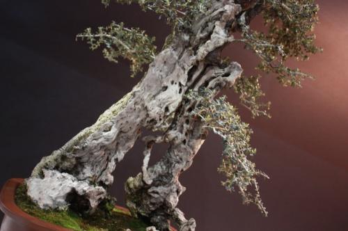 Bonsai Olea Europaea - Tomeu Joan Serra - EBA Lorca