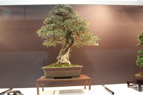 Bonsai Olea Europaea Sylvestris - Juan Joy Pons - EBA Lorca