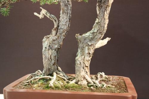 Bonsai Troncos Pinus Sylvestris - Pascual Costa Gil - EBA Lorca