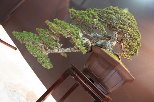 Bonsai Cascada Pinus Sylvestris - David Benavente - EBA Lorca