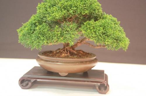 Bonsai Juniperus Chinensis - Reg Bolton - EBA Lorca