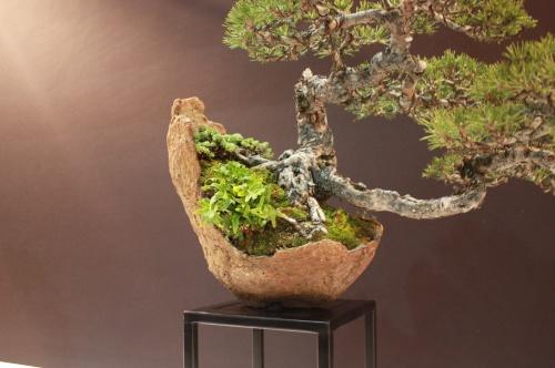 Bonsai Luis Vallejo - Pino - Pinus - EBA Lorca