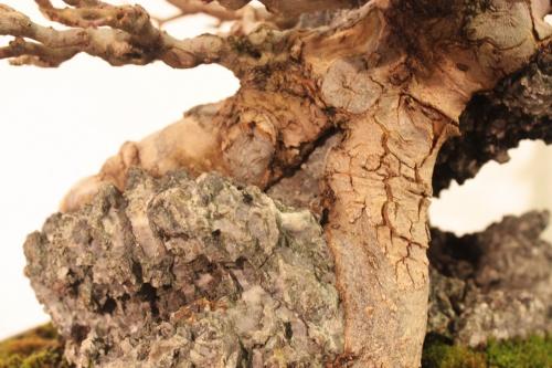 Bonsai Arce en Roca - Tronco fusionado en Roca - CBALICANTE