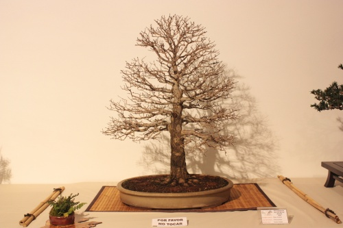 Bonsai Ulmus Minor - Jaume Canals - CBALICANTE