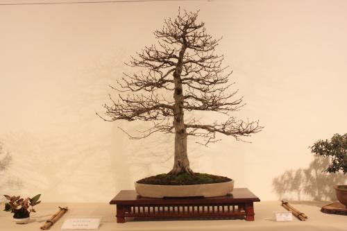 Bonsai Carpinus Betulus - CBALICANTE