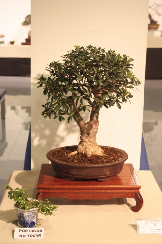 Bonsai Olea Europaea - CBALICANTE