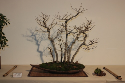 Bonsai Bosque Carpinus Laxiflora - CBALICANTE