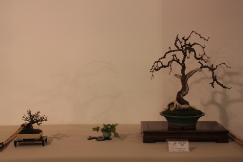 Bonsai Composición Parra y planta de Acento - CBALICANTE