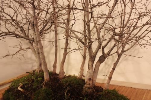 Bonsai Detalle Bosque de Olmos - CBALICANTE