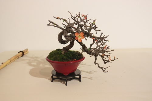 Bonsai Membrillero - CBALICANTE