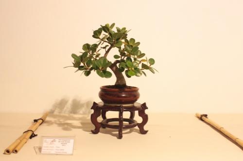 Bonsai Ficus Panda - CBALICANTE