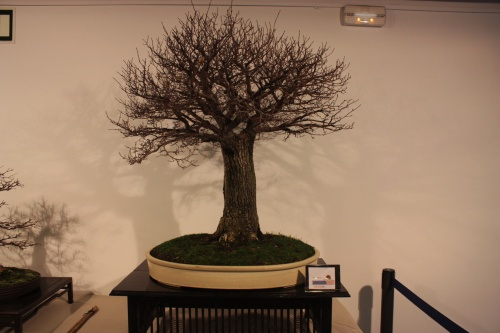 Bonsai Olmo - Ulmus Minor - CBALICANTE